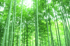 The green bamboos Royalty Free Stock Photos
