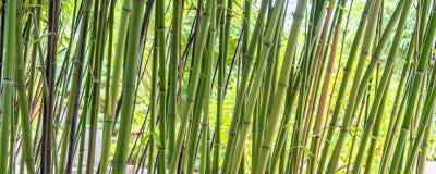 Green bamboos panoramic background Stock Image