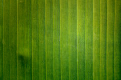 Green banan leaf background. Abstract Royalty Free Stock Images