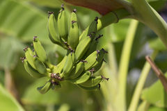 Green banan trees and fruits. Bananas on branch in garden. Palm Royalty Free Stock Photos