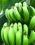 Green banana Stock Photography