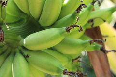 Green banana (barlen) Stock Images