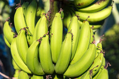 Green banana bunch hanging on tree details. royalty free stock images