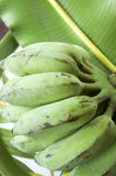 Green banana Royalty Free Stock Image