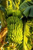 Green banana bunch Stock Photos