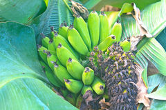 Green Banana bunch on tree in the garden Royalty Free Stock Photo