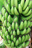 Green bananas. Bunches of green bananas Stock Photos