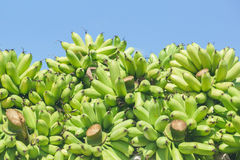 Green banana bunches Royalty Free Stock Photography