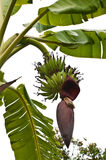 Green banana and flower Royalty Free Stock Photos