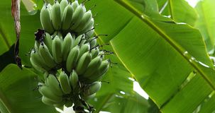 Green banana fruit on tree, rainy day scene stock footage
