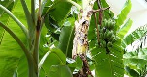Banana fruit on tree, rainy day scene. Green banana fruit on tree, rainy day scene stock footage