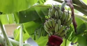 Green banana fruit on tree, rainy day scene. Green banana fruit on tree of plantation agriculture, rainy day scene stock footage