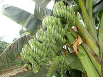 Green Banana fruits on the tree Stock Photo