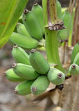 Green Banana Grove background Royalty Free Stock Image