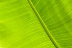 Green Banana Leaf Stock Images