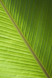 Green banana leaf Stock Images