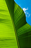 Green Banana Leaf. Close-up of a large vibrant green banana leaf backlit by the sun with a bright blue sky. Photo taken at Bear Creek Park in Surrey, British royalty free stock photo