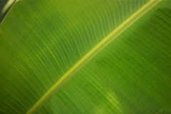 Green banana leaf Stock Image