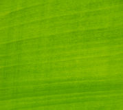 Green banana leaf. Abstract background royalty free stock photos