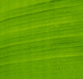 Green banana leaf. Abstract background stock images