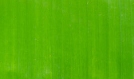 Green banana leaf Royalty Free Stock Image