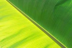 The green banana leaf Royalty Free Stock Photos