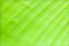 Green banana leaf background Stock Photos