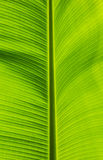 Green banana leaf Royalty Free Stock Photography