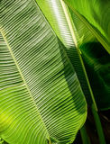 Green banana leaf background abstract. Green Banana leaf backlit sun - abstract background Stock Image