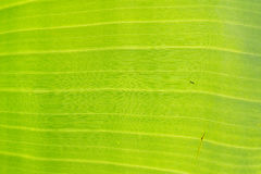 Green banana leaf background abstract. Green banana leaf background backlit texture macro detail, stalk leaf-ribs vein Stock Image