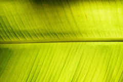 Green banana leaf background abstract in Cambodia Royalty Free Stock Image