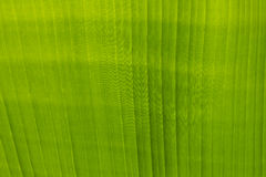 Green banana leaf. Background abstract close up Stock Images