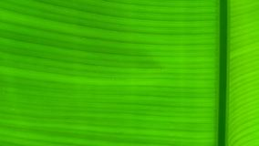 Green banana leaf background, banana leaves stock image