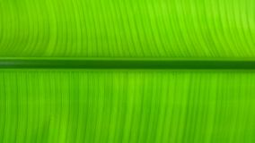 Green banana leaf background, banana leaves stock photos