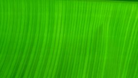 Green banana leaf background, banana leaves royalty free stock photos