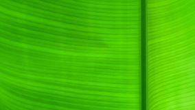 Green banana leaf background, banana leaves royalty free stock image