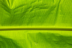 Green banana leaf background Stock Photo