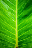 Green banana leaf background Stock Photography