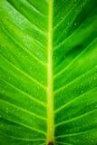 Green banana leaf background. Rain drop on green banana leaf background Stock Photography