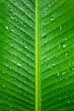 Green banana leaf background. Rain drop on green banana leaf background Stock Image