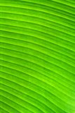 Green banana leaf background Stock Photography