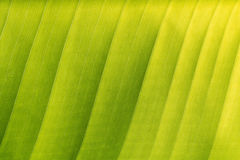 Green banana leaf background, texture (close up). Abstract of green banana leaf background, texture (close up Stock Photo