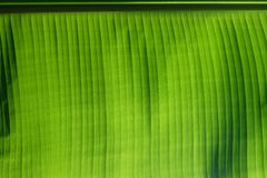 Green banana leaf background Stock Images