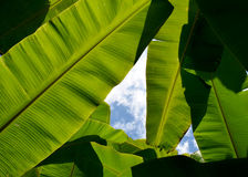 Green Banana leaf backlit sunlight and sky Royalty Free Stock Photo