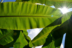 Green Banana leaf backlit sunlight and sky Stock Image