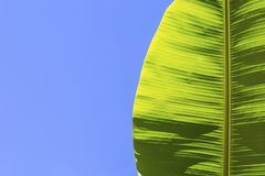 Green banana leaf on a blue background. Billet for the banner. A leaf of a tropical palm tree against the sky Royalty Free Stock Photo