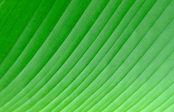 Green banana leaf. Green banana leaf,close up stock images