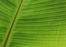 Green Banana Leaf Close up Royalty Free Stock Photo