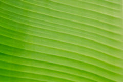 Green banana leaf. Royalty Free Stock Photography