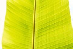 Green banana leaf Royalty Free Stock Photos